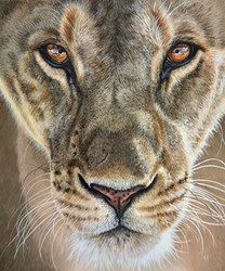Lioness by Gina Hawkshaw -  sized 20x24 inches. Available from Whitewall Galleries